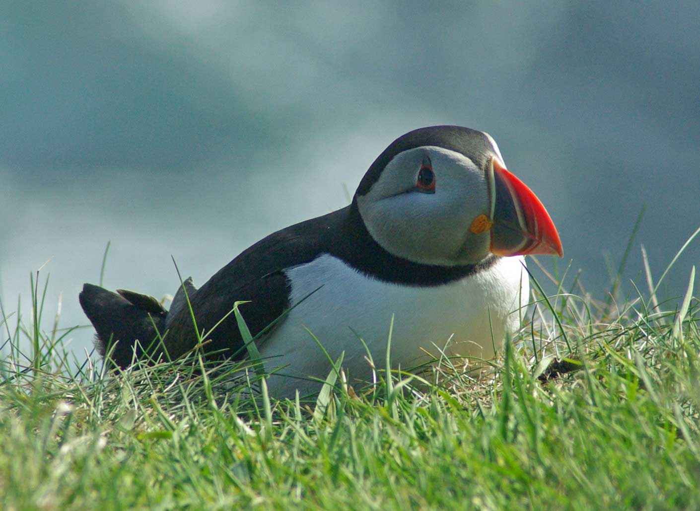 puffin-in-the-grass